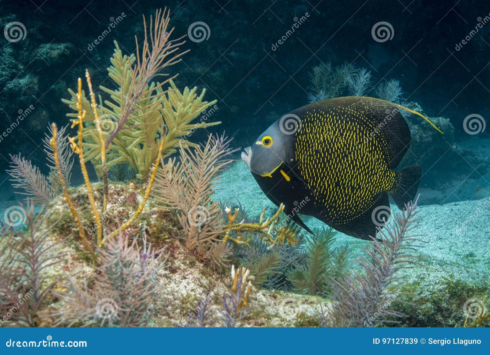 Французский Angelfish
