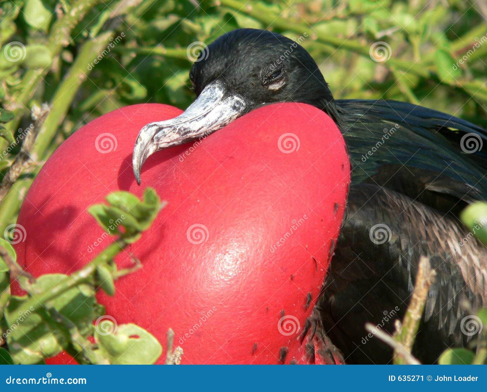 Download фрегат дисплея птицы стоковое изображение. изображение насчитывающей черный - 635271