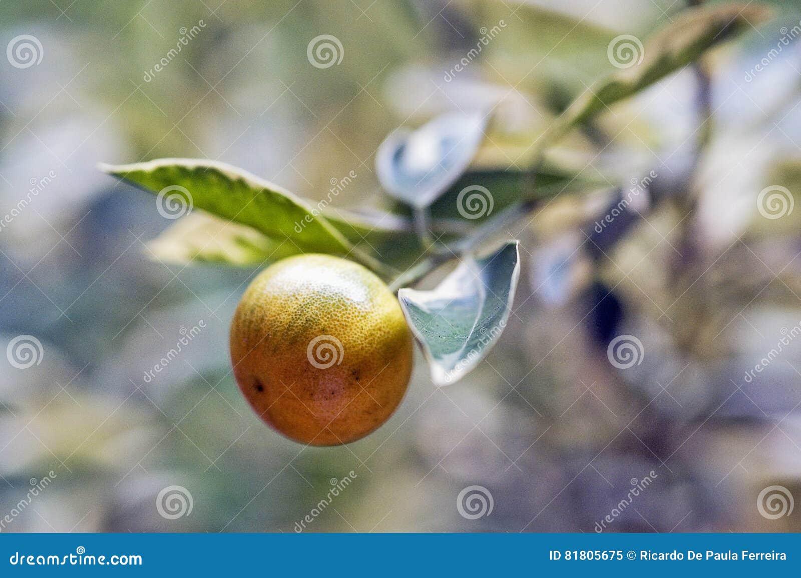 Фруктовое дерев дерево кумкватов очень оцененное в садовничать