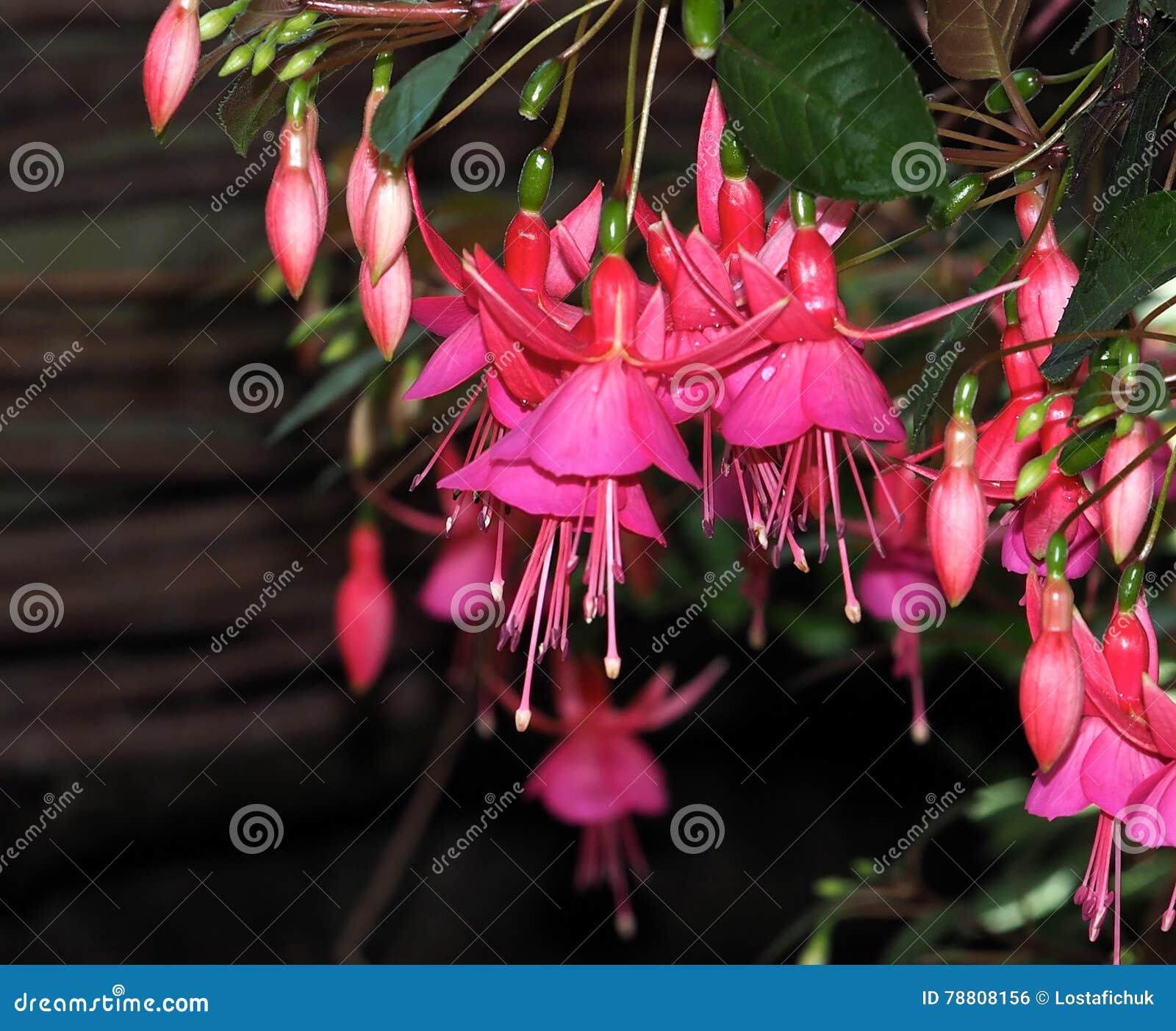 Фуксия в цветени