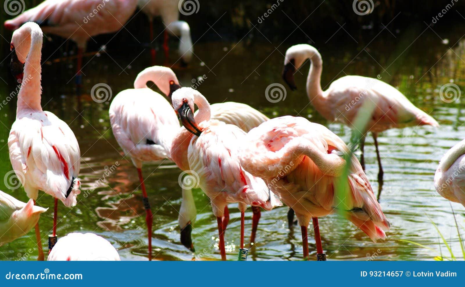 фламингоы
