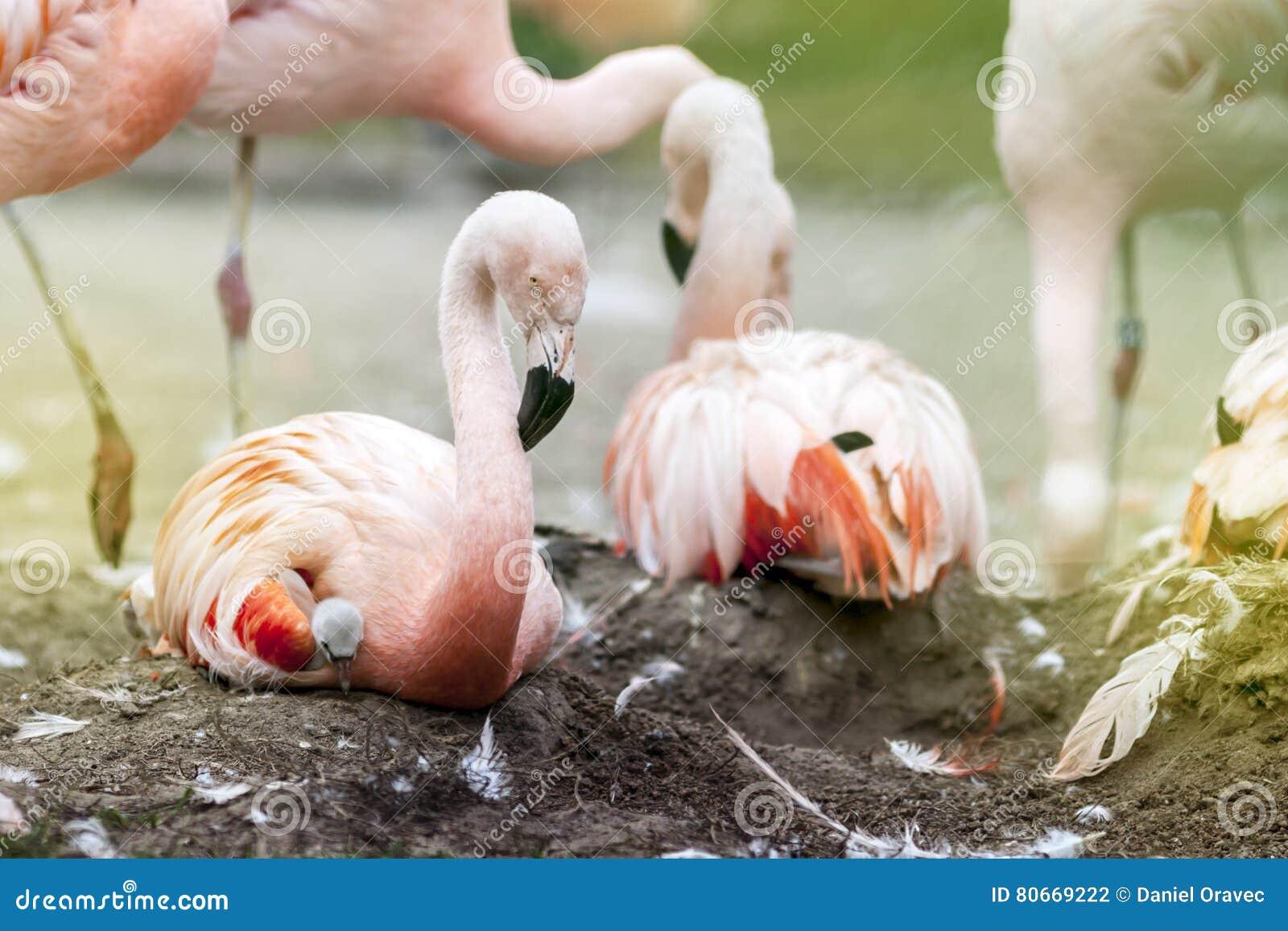 Фламинго на гнезде