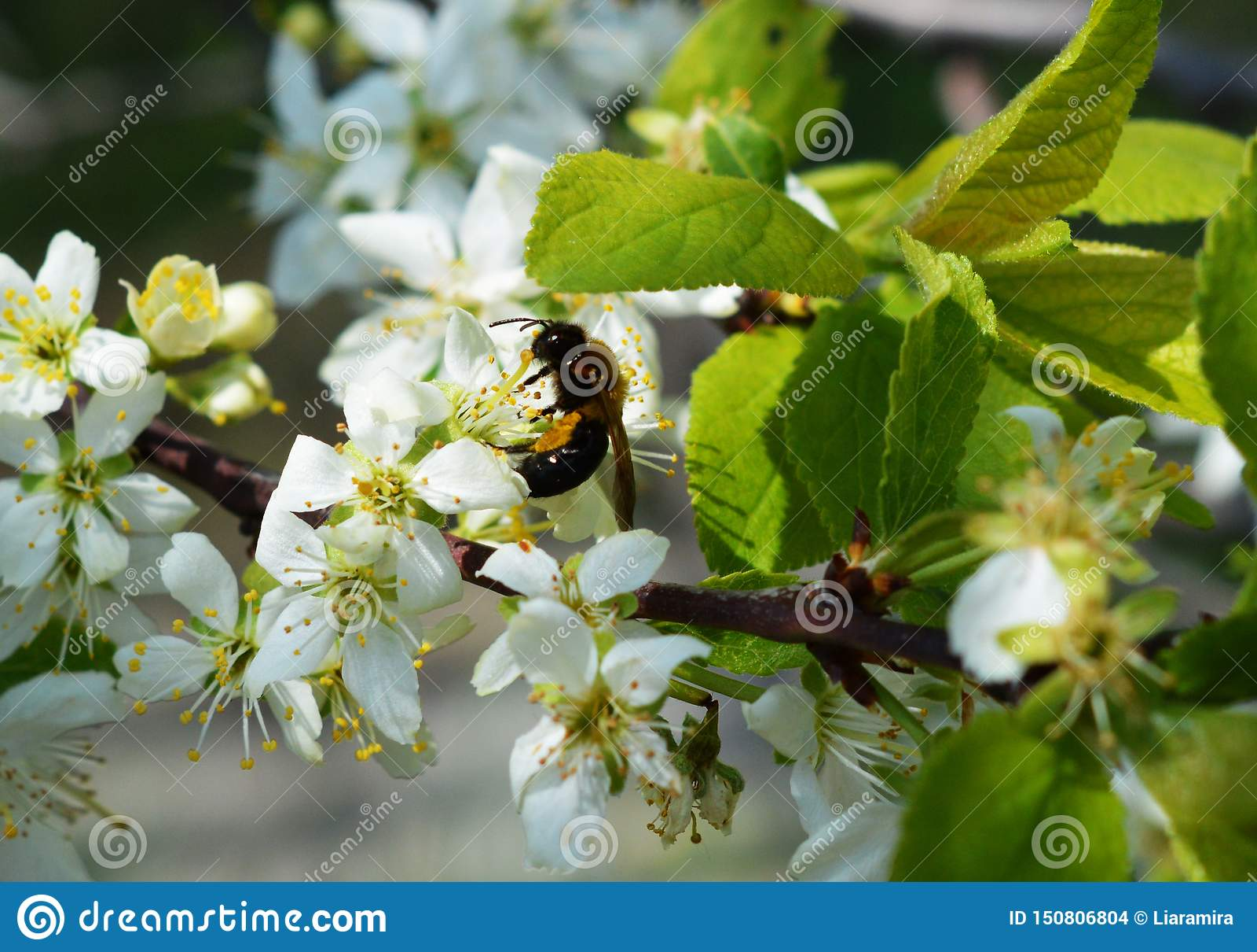 Хворостина с белыми цветками вишни в саде Шершень на цветке