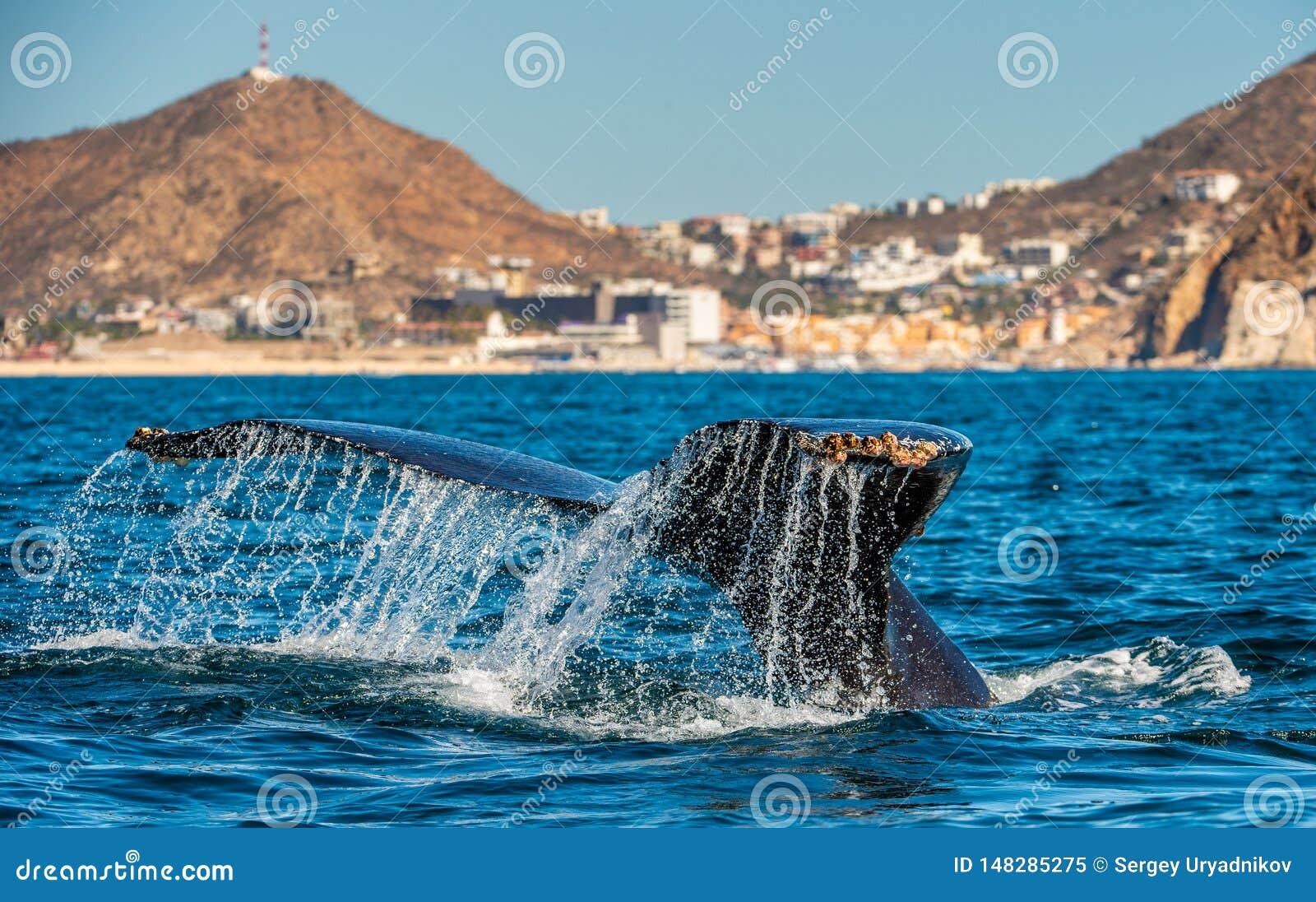 Хвостовой плавник могущественного горбатого кита над поверхностью океана Научное имя: Novaeangliae Megaptera E