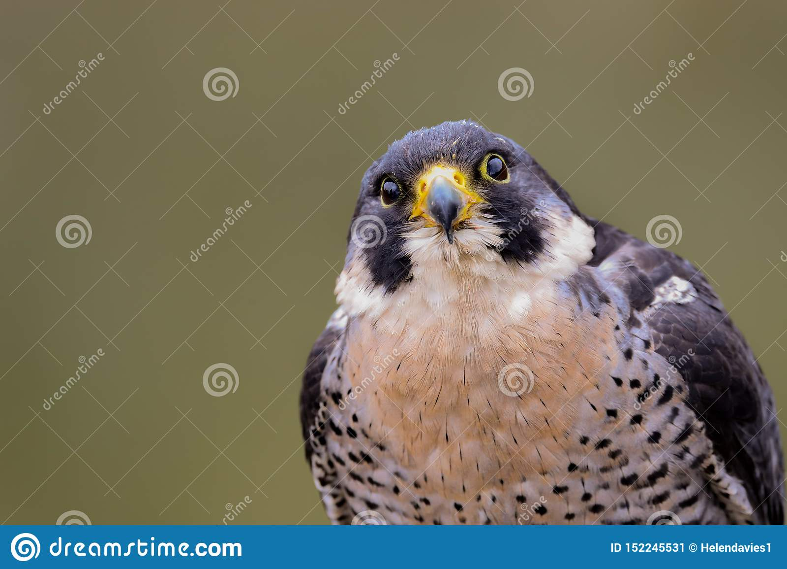 Хищная птица peregrinus Falco сапсана