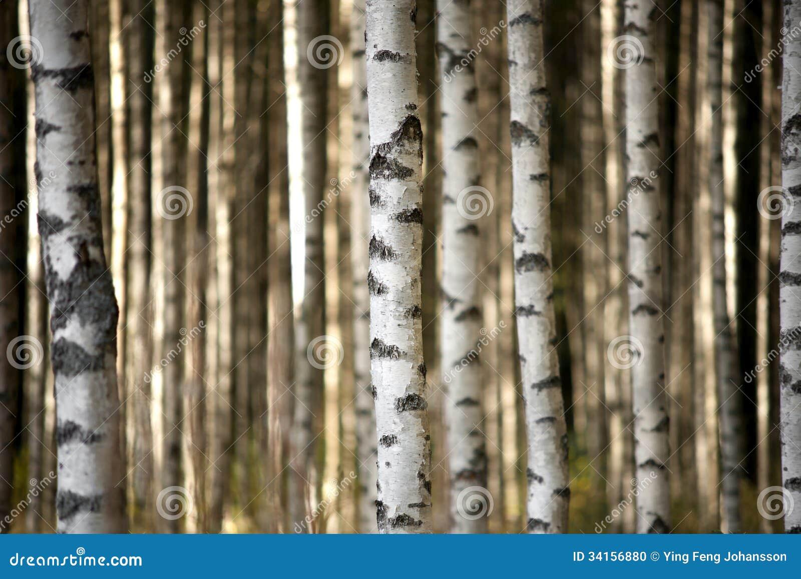 Хоботы деревьев березы