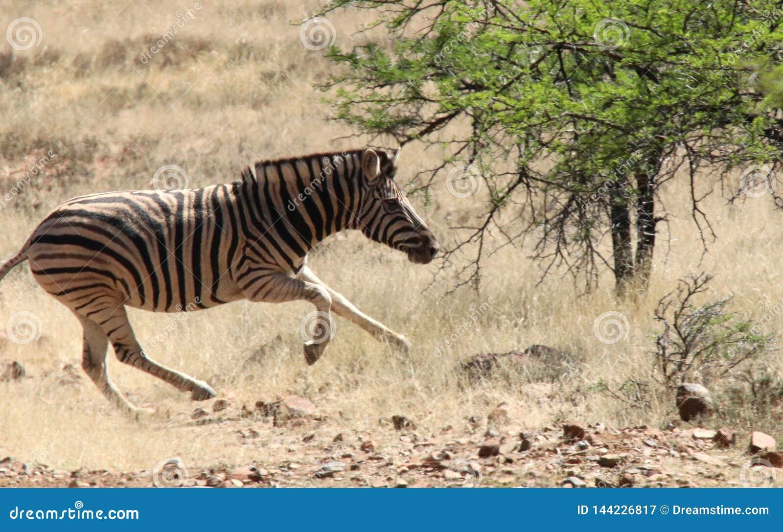 Ход зебры на саванне в Южной Африке