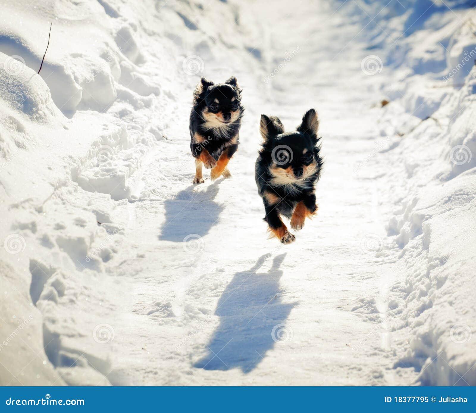 ход собаки чихуахуа