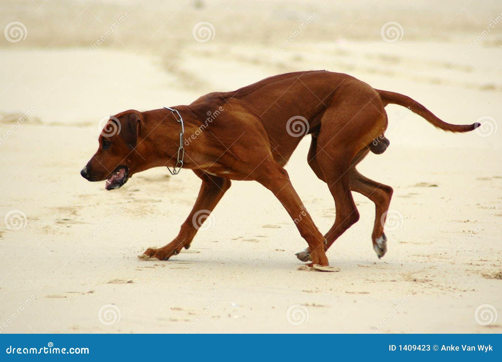 ход собаки