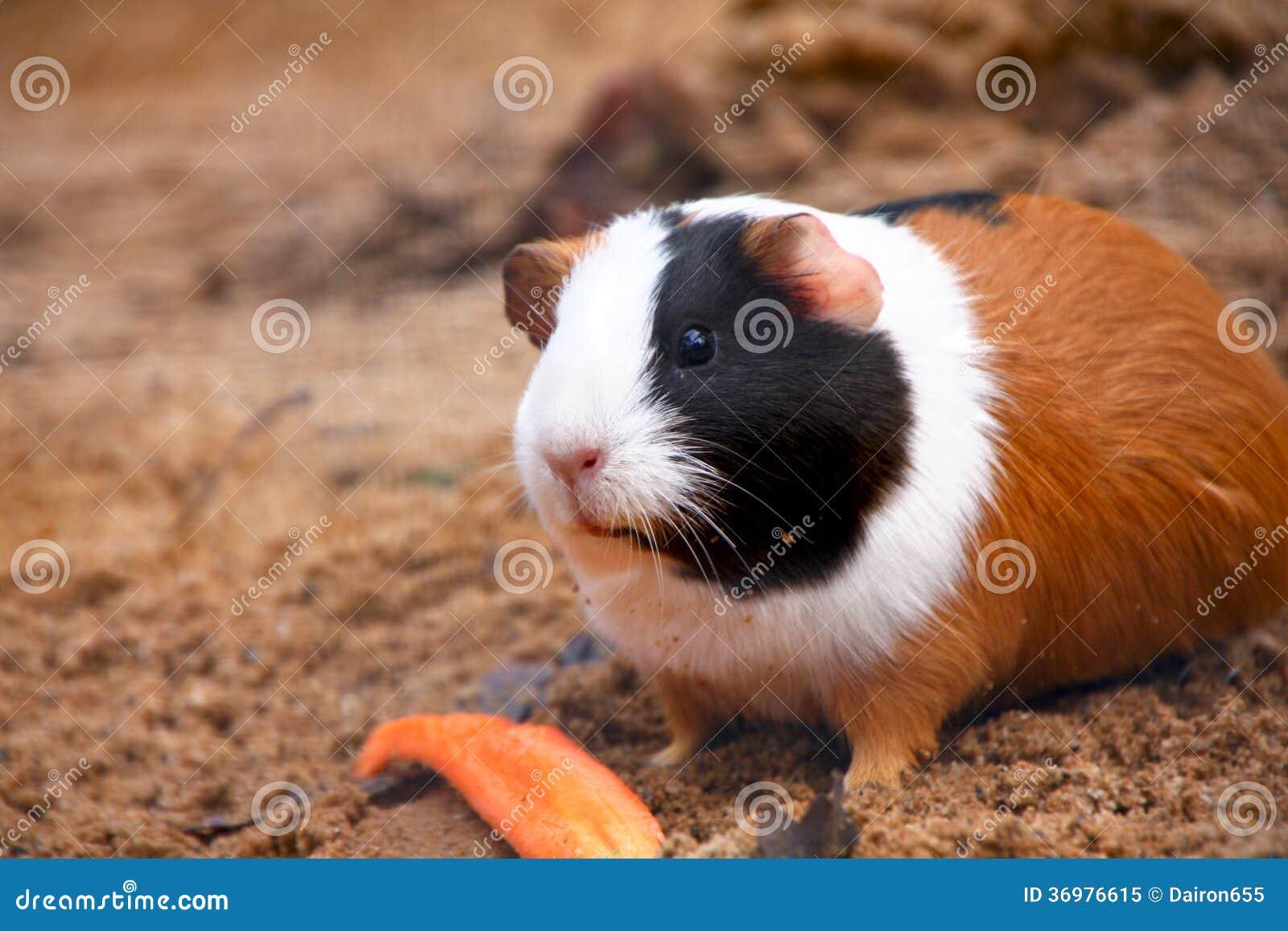 Хомяки и морские свинки