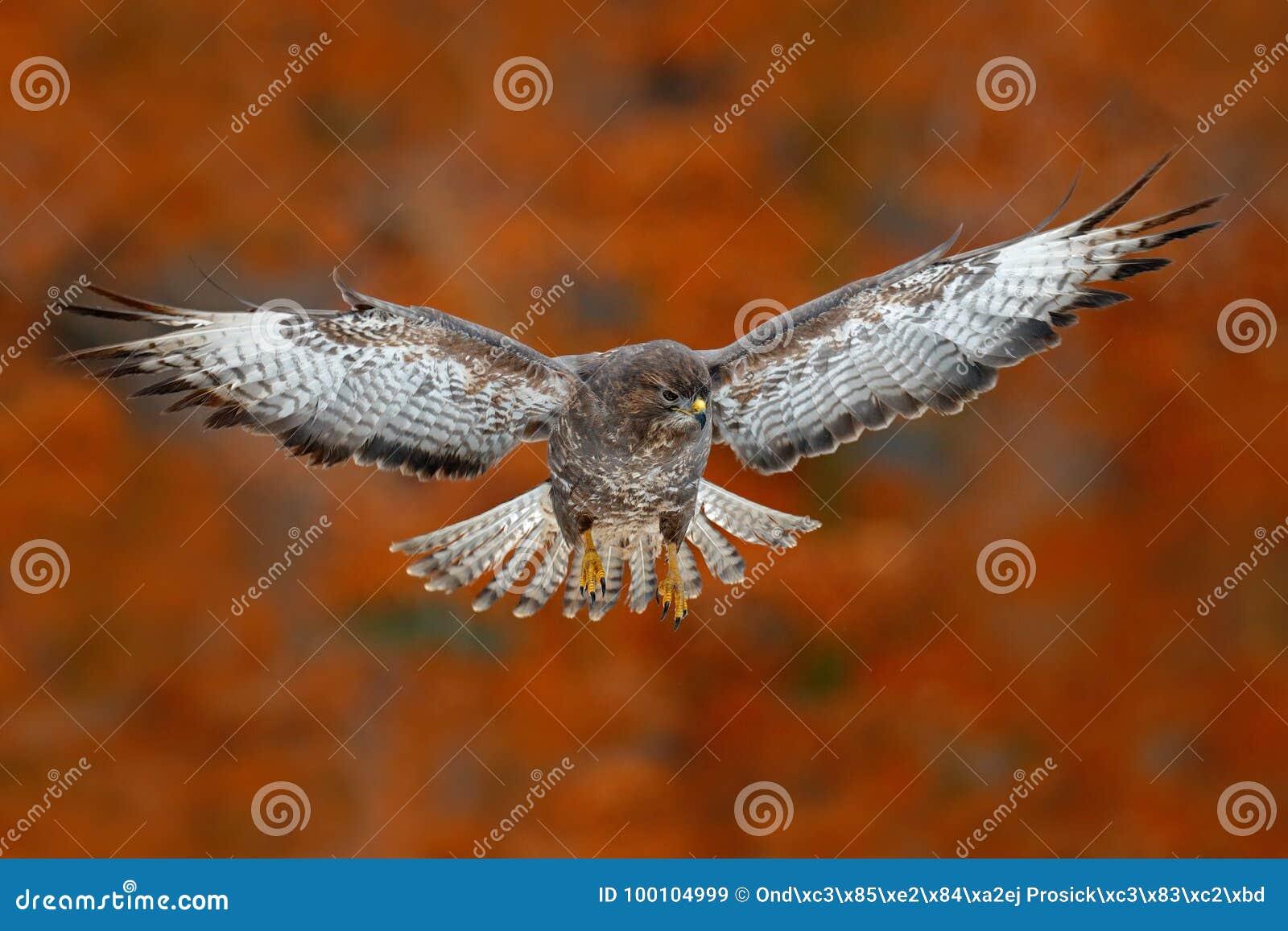 Хоук канюка летящей птицы с запачканным оранжевым лесом дерева осени в предпосылке Сцена живой природы от природы птица в мухе Хо