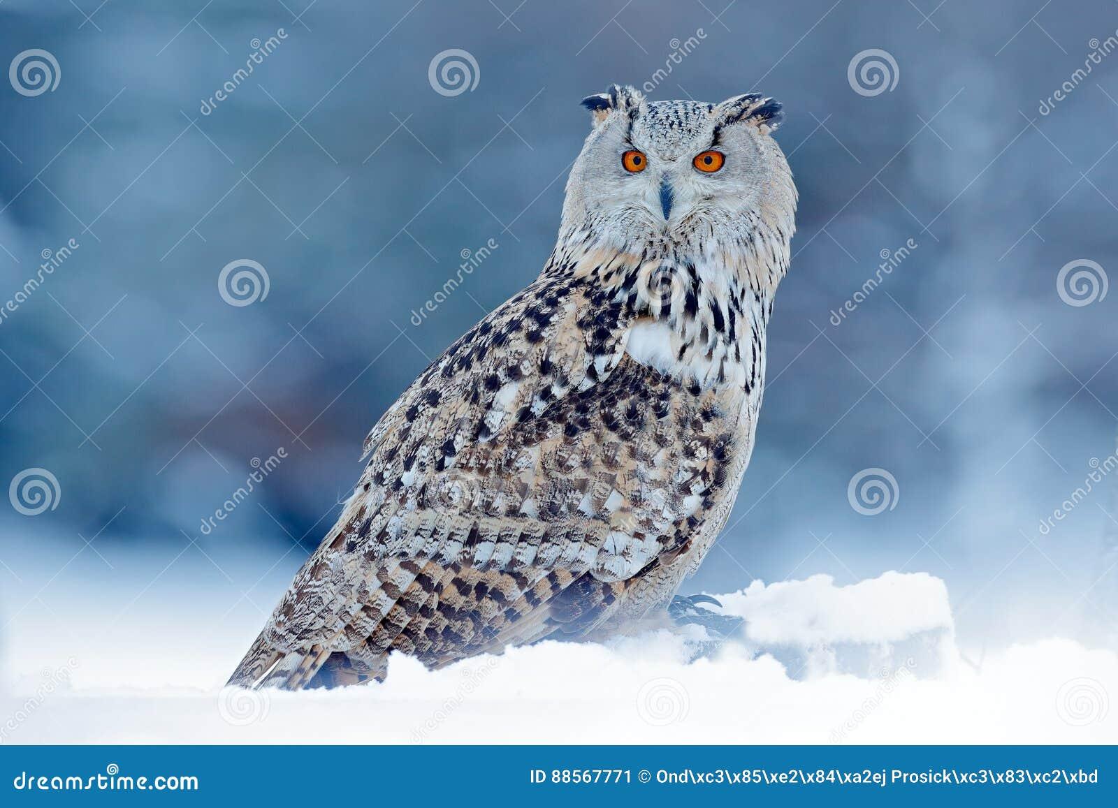 Холодная зима с редкой птицей Большой восточный сибирский сыч орла, sibiricus bubo Bubo, сидя на пригорке с снегом в березе леса