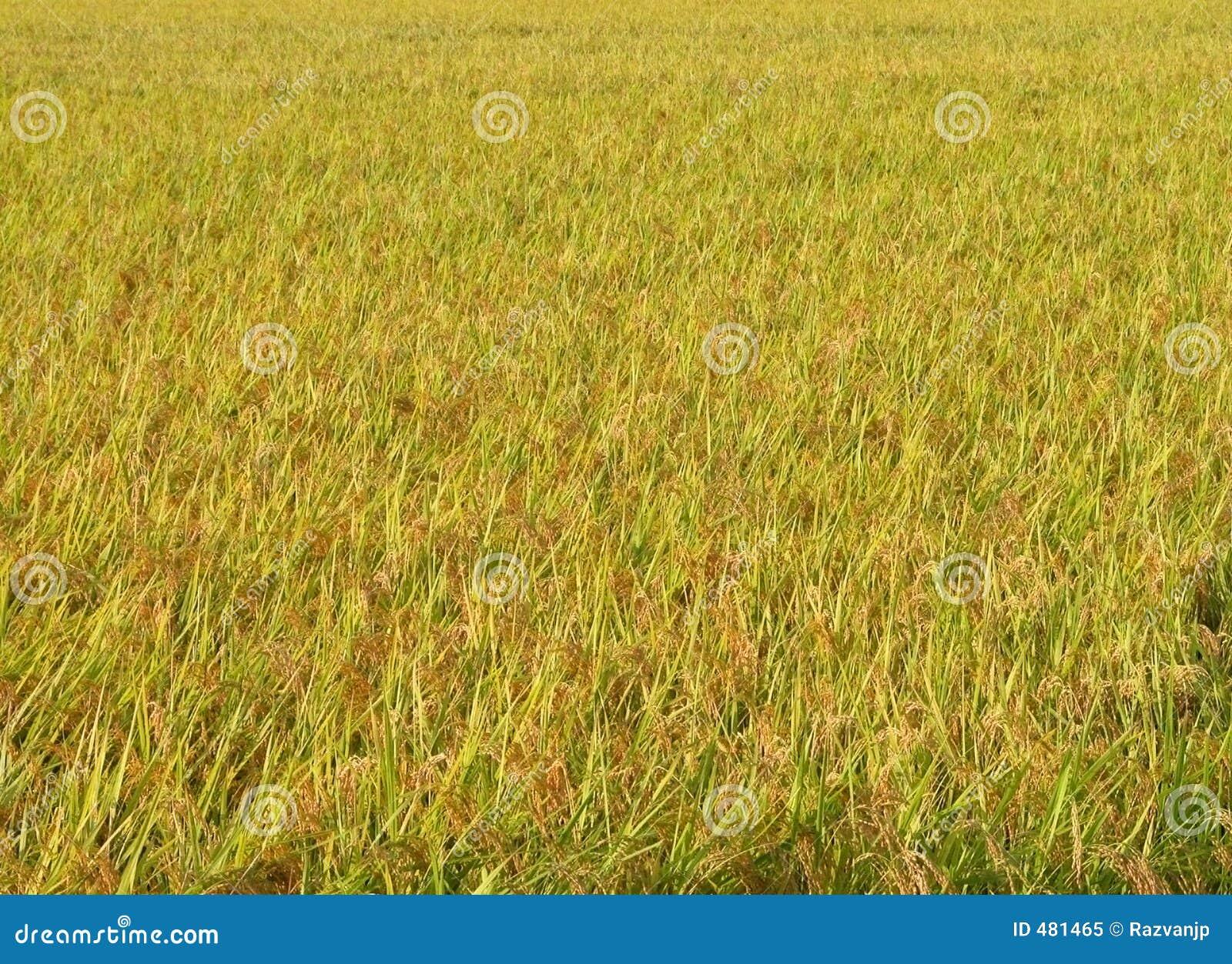 хранят текстура риса
