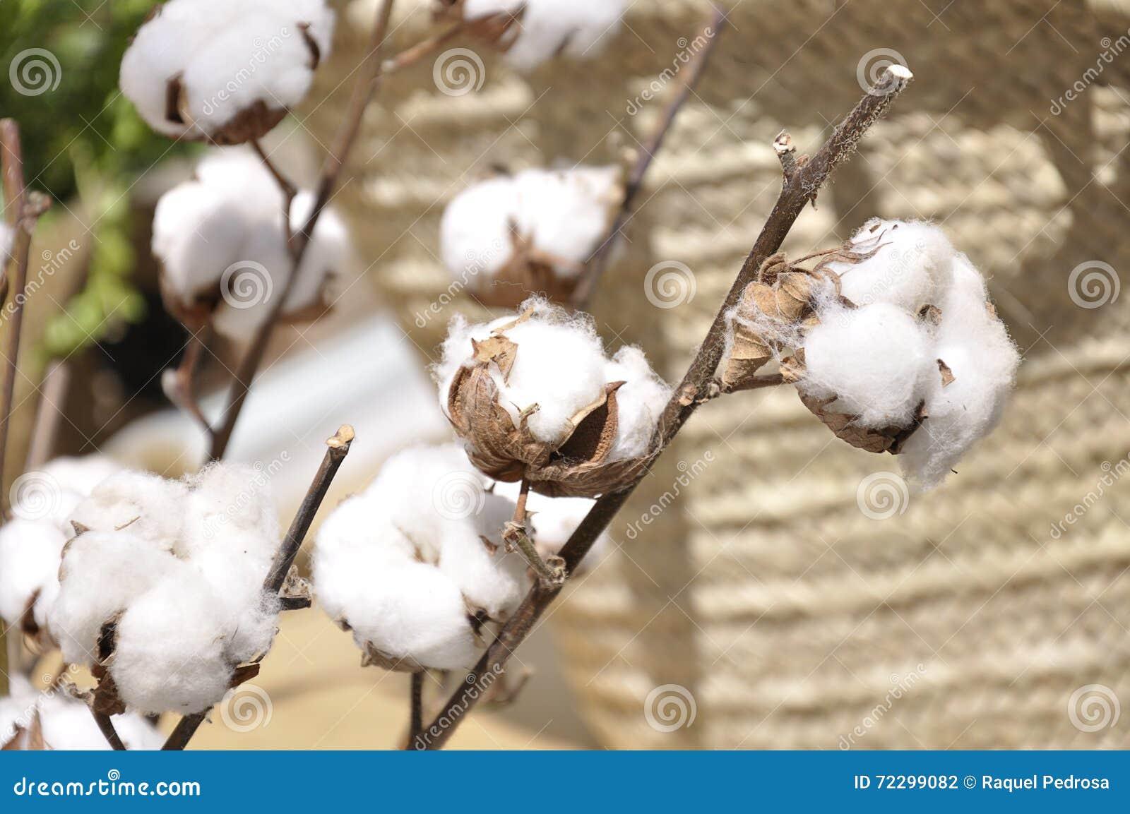 Download Хлопок цветет (хлопчатник) стоковое фото. изображение насчитывающей ботаническую - 72299082