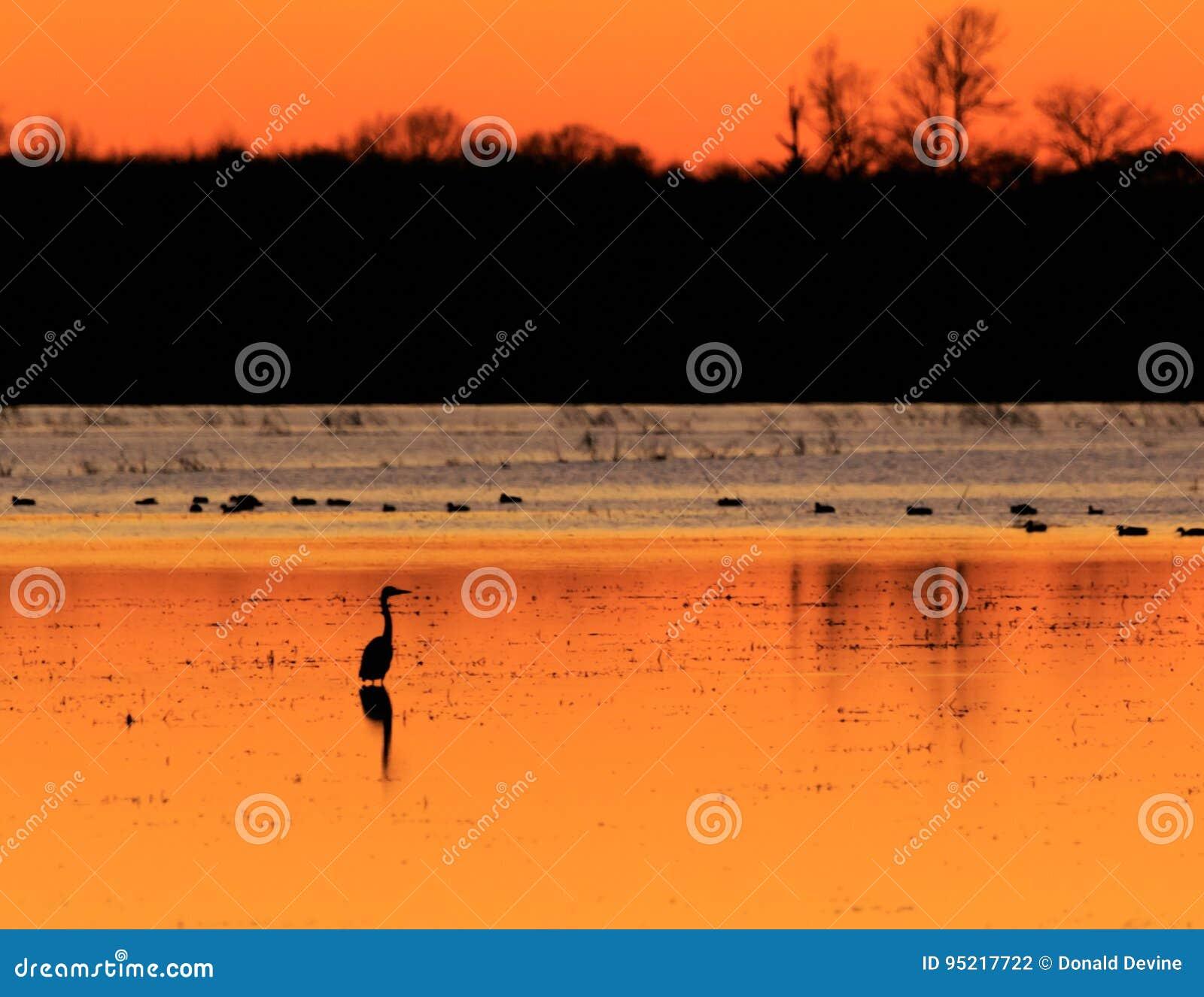 Цапля большой сини при утки на заднем плане стоя в затопленном поле риса используемом как район охоты во время сезона утки на обл