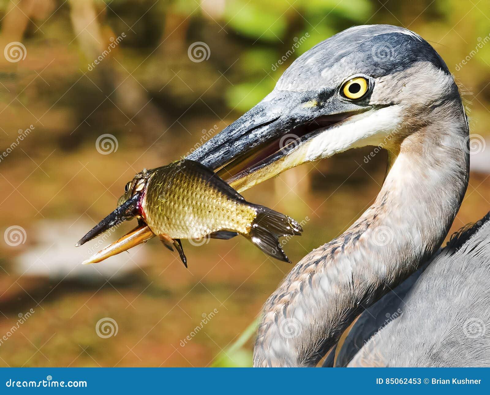 цапля голубых рыб большая