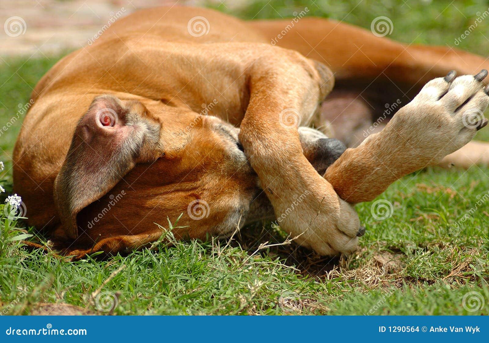 царапать собаки