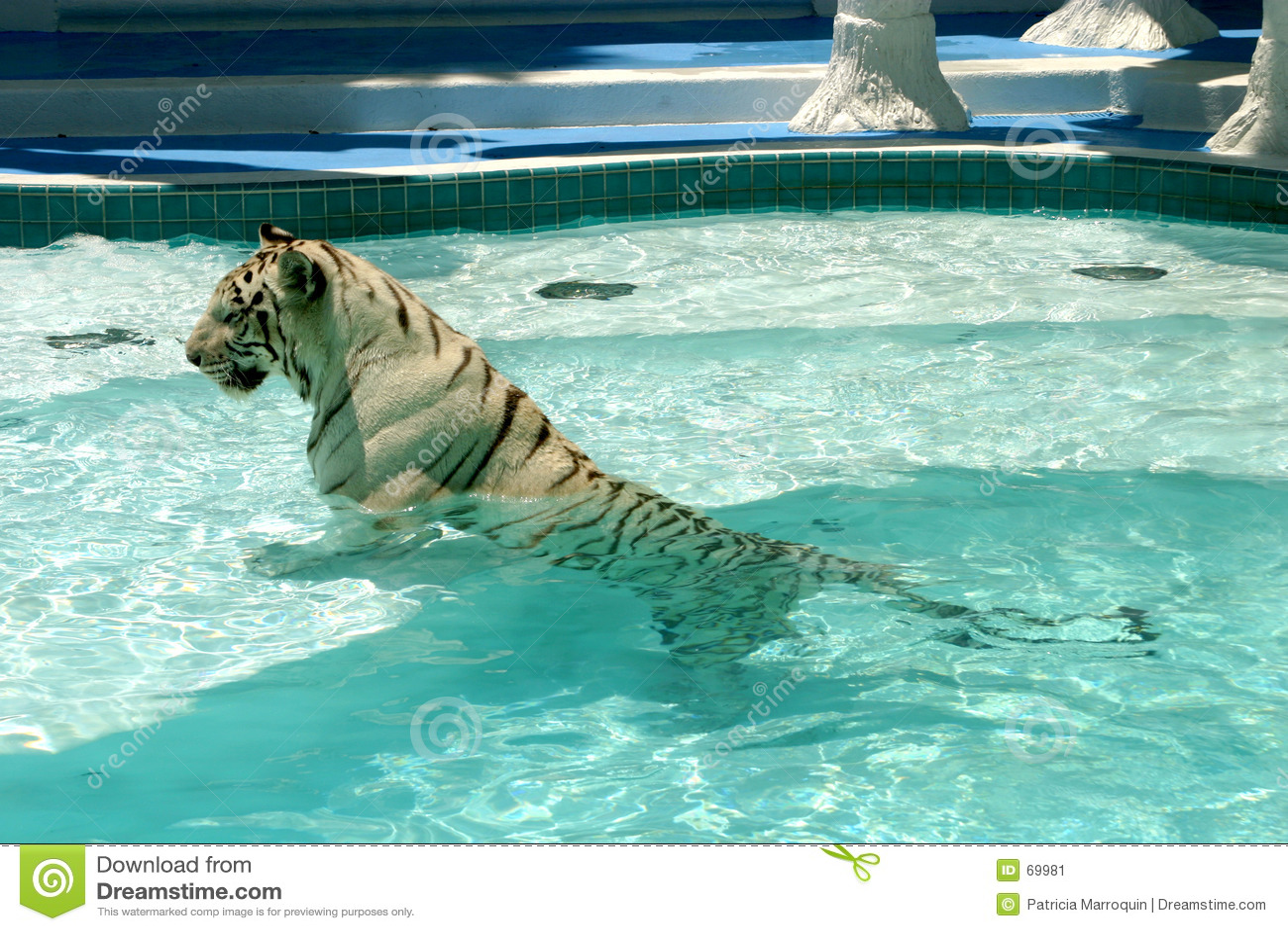 царственная белизна тигра
