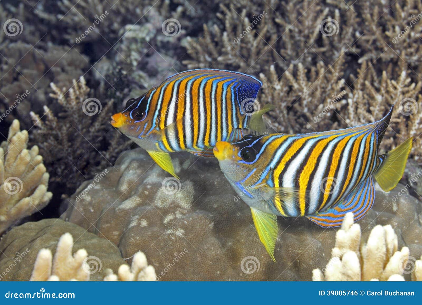 Царственный Angelfish 2