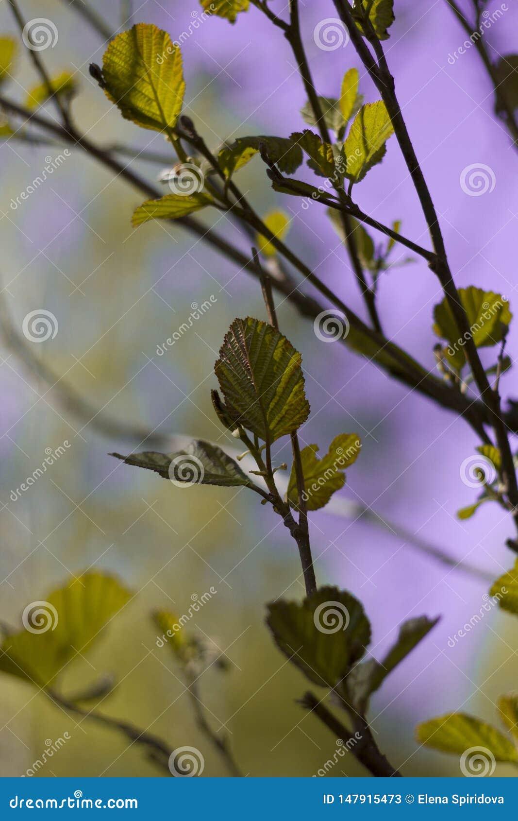 Цвести ветви вишни осветили по солнцу на летний день в лесе