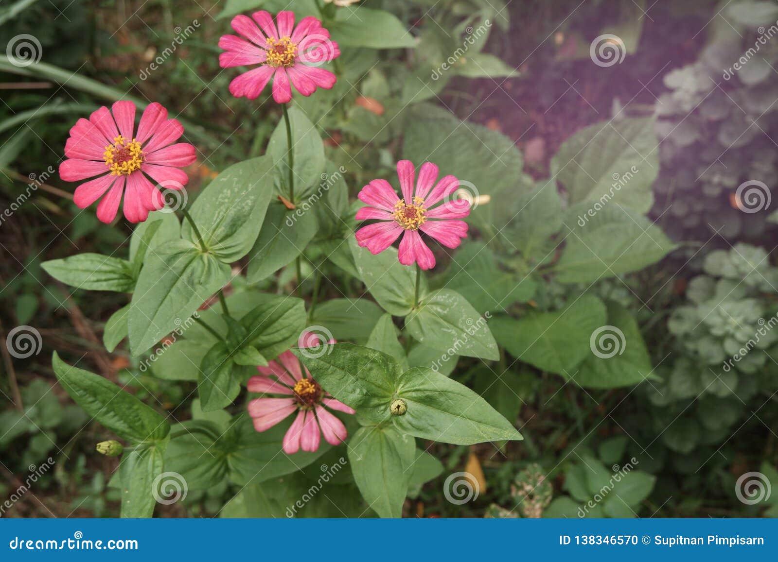 цвести красивый розовый Zinnia