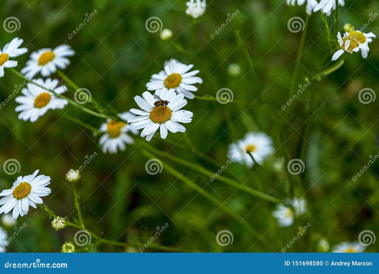 Цвести Ошибка на стоцвете Зацветая поле стоцвета, цветки стоцвета на луге летом, выборочным фокусом