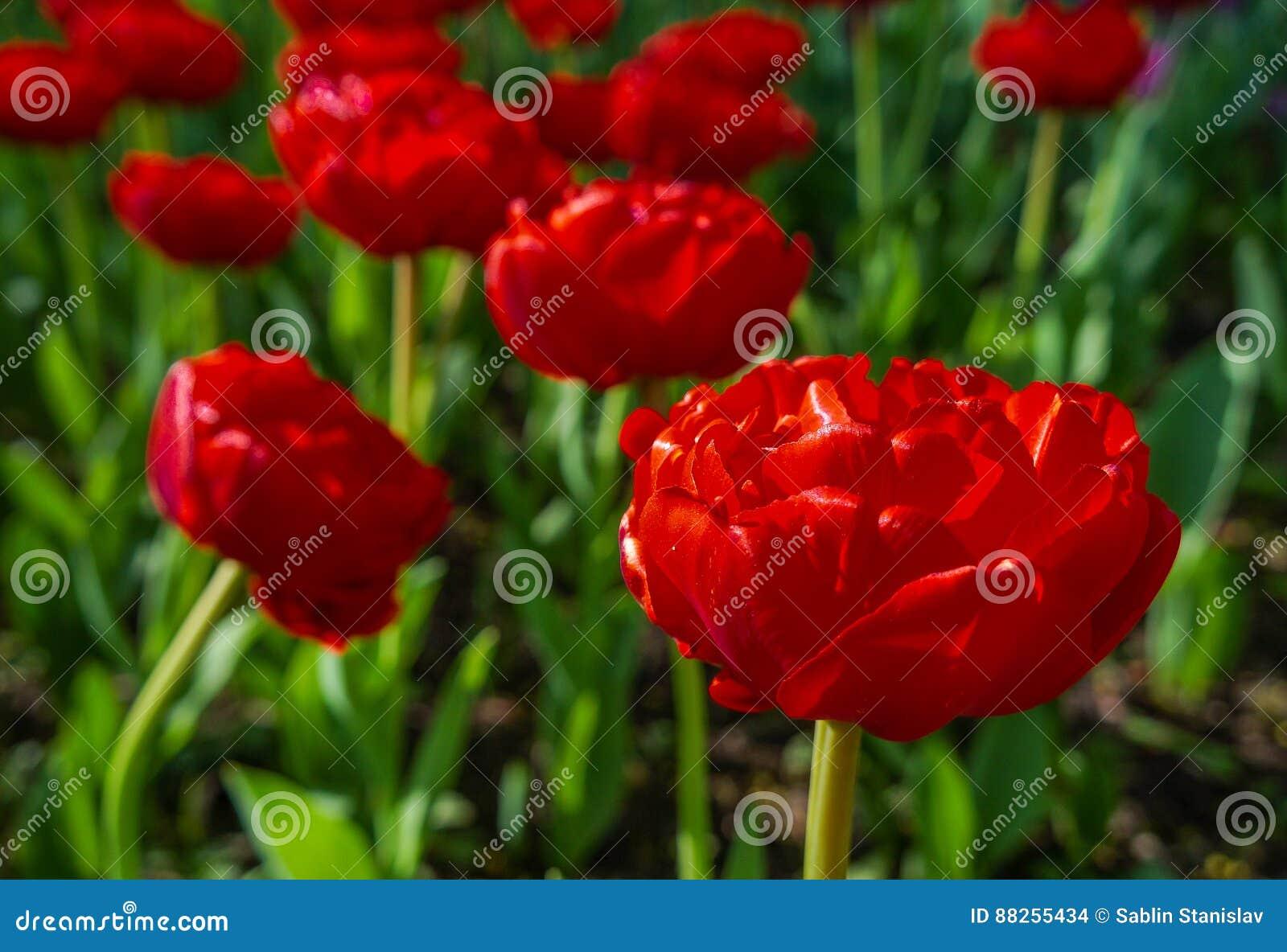 Цвести тюльпанов в парке города