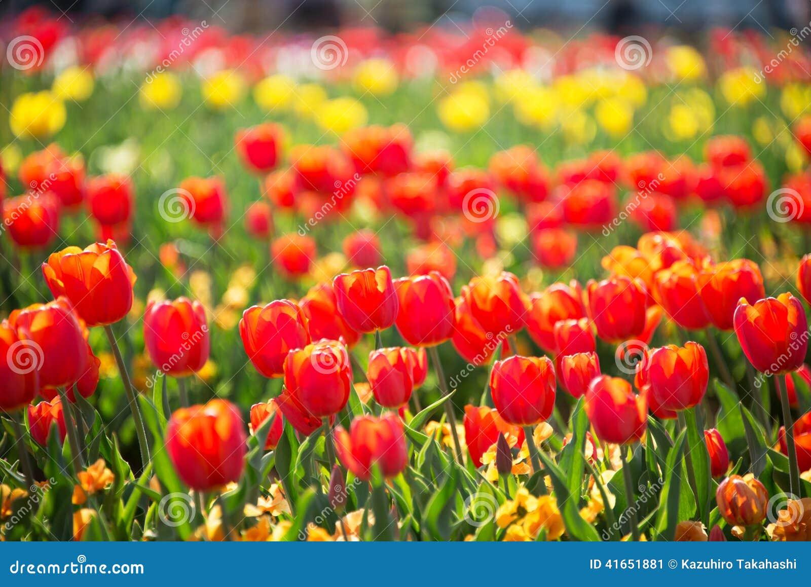 цветастый тюльпан сада