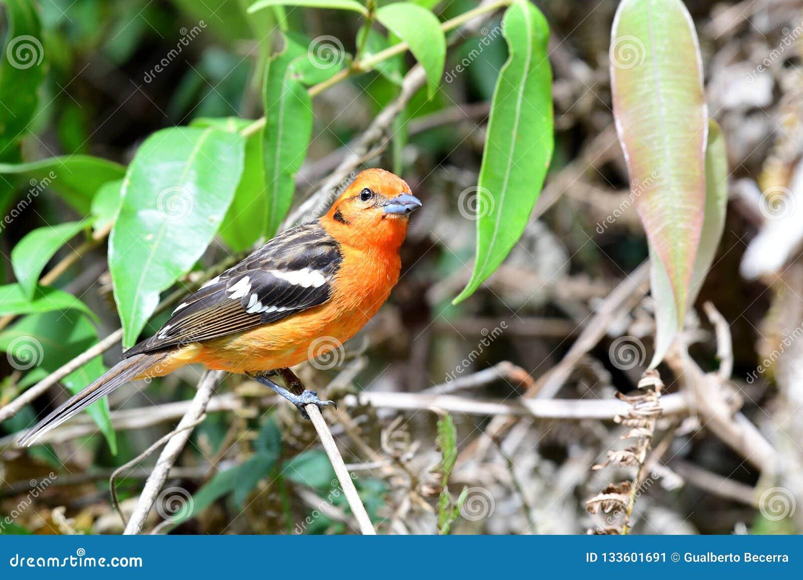 цвета Плам bidentata Piranga Tanager на ветви дерева
