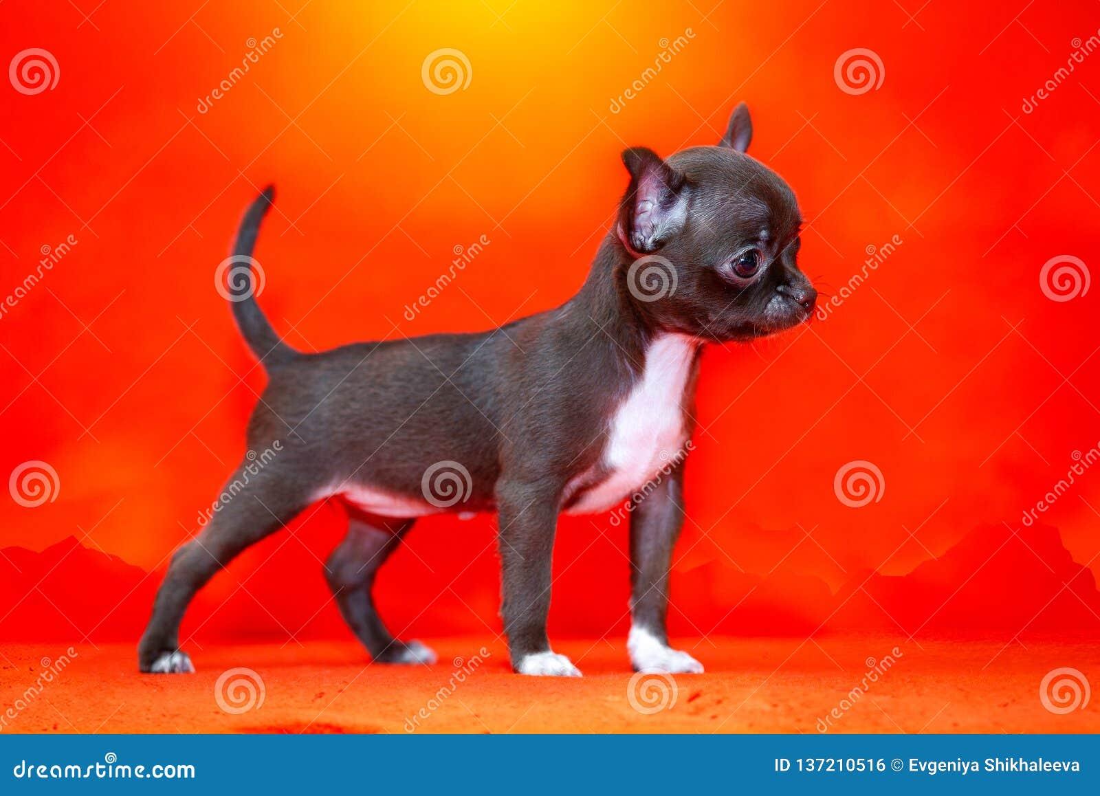 цвета Шоколад щенок чихуахуа на пляже красивейший заход солнца