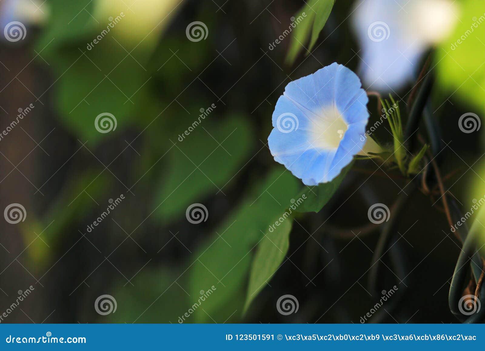 цветене славы утра полностью