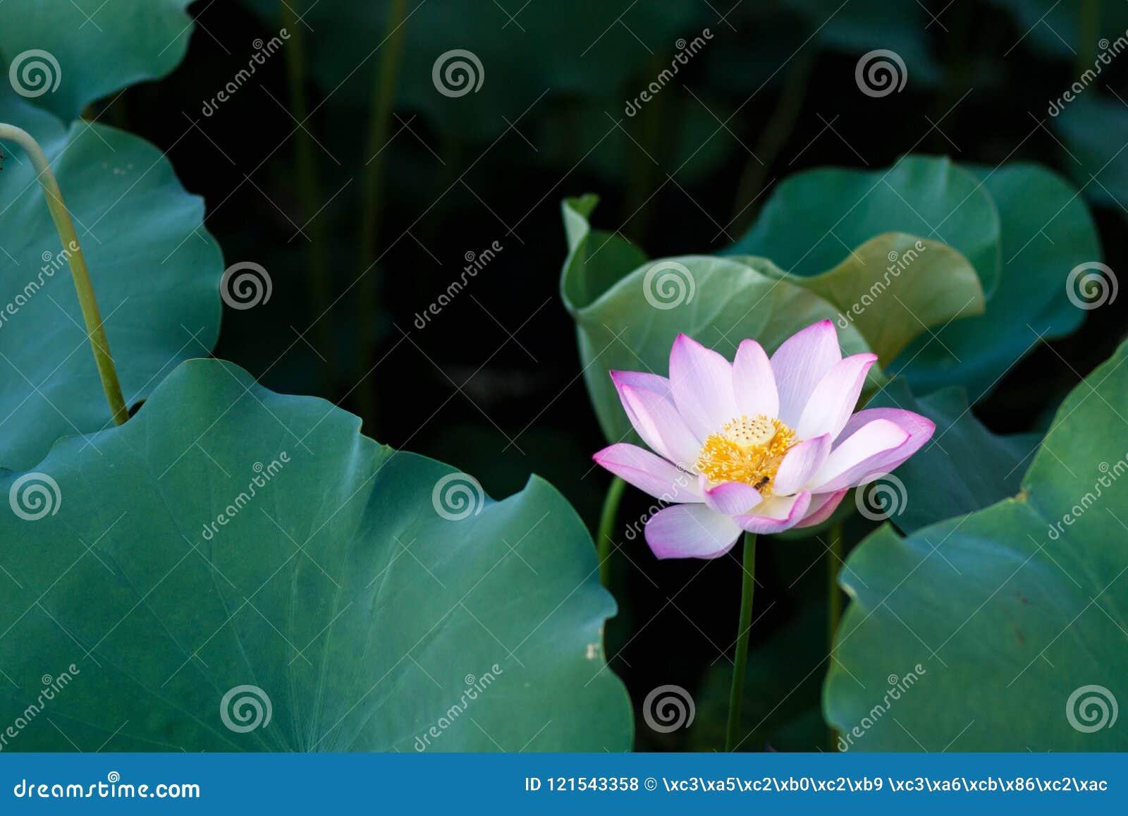 Цветене цветков лотоса в парке
