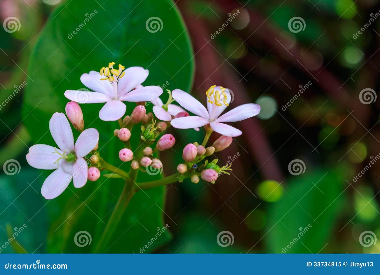 Цветене ятрофы