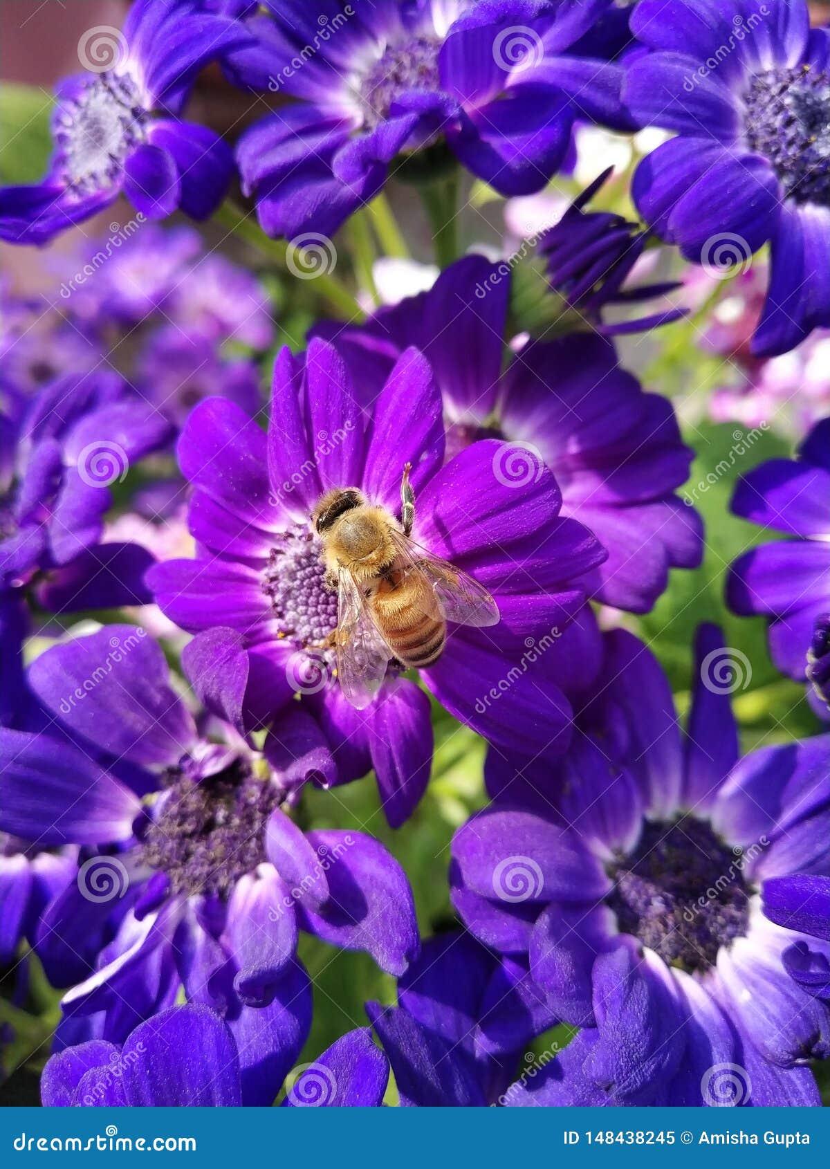 Цветене cineraria лета и свой нектар привлекают пчел