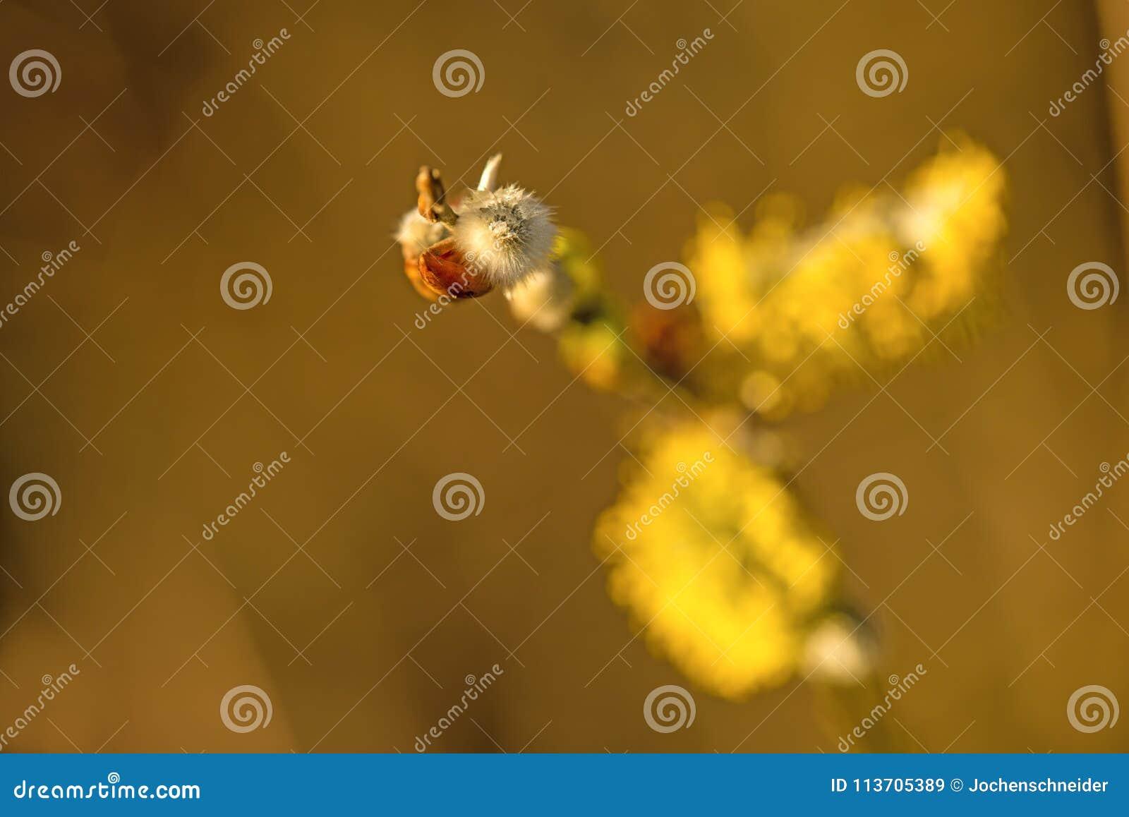 Цветение вербы в весеннем времени