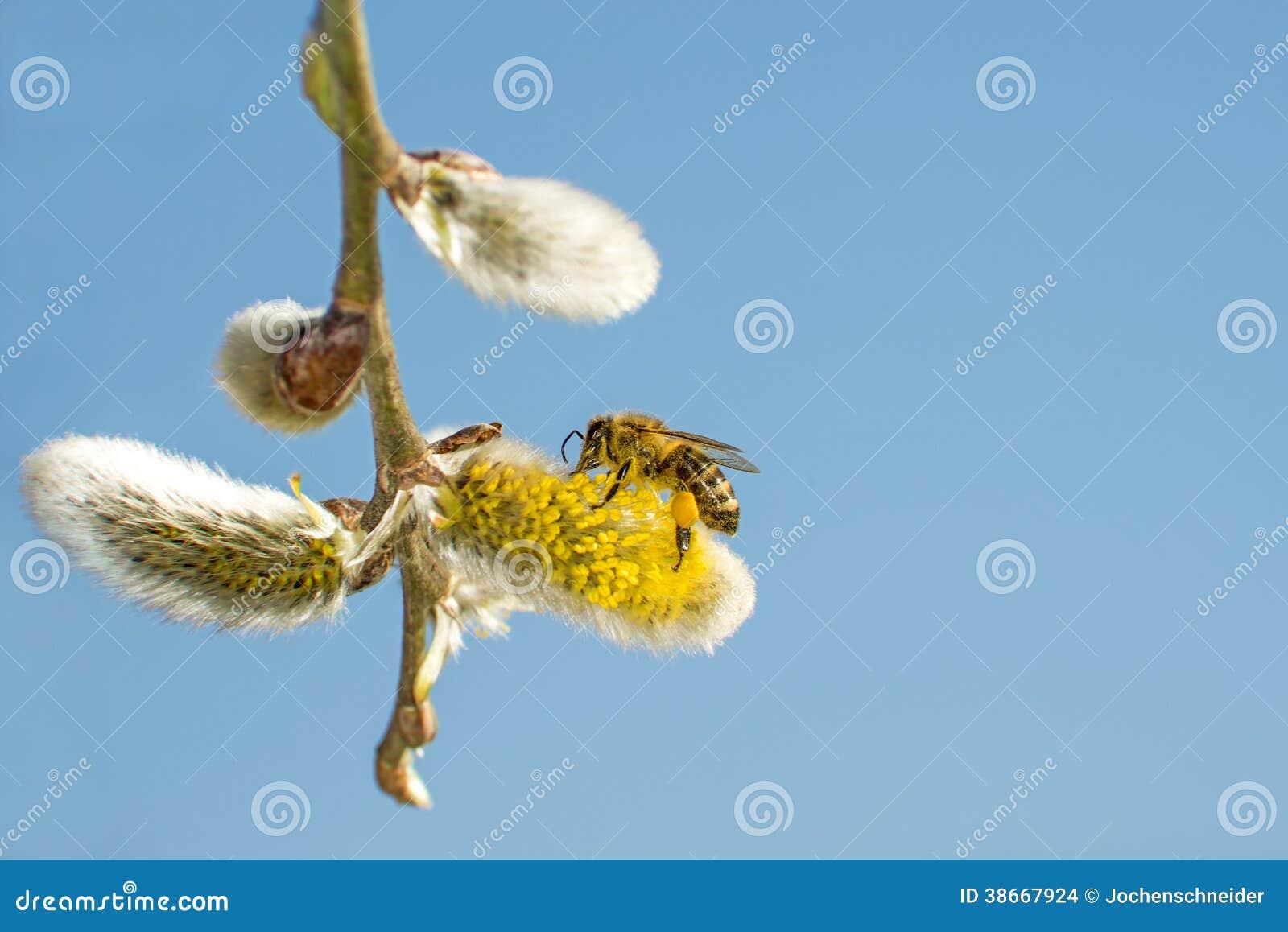 Цветение вербы с пчелой