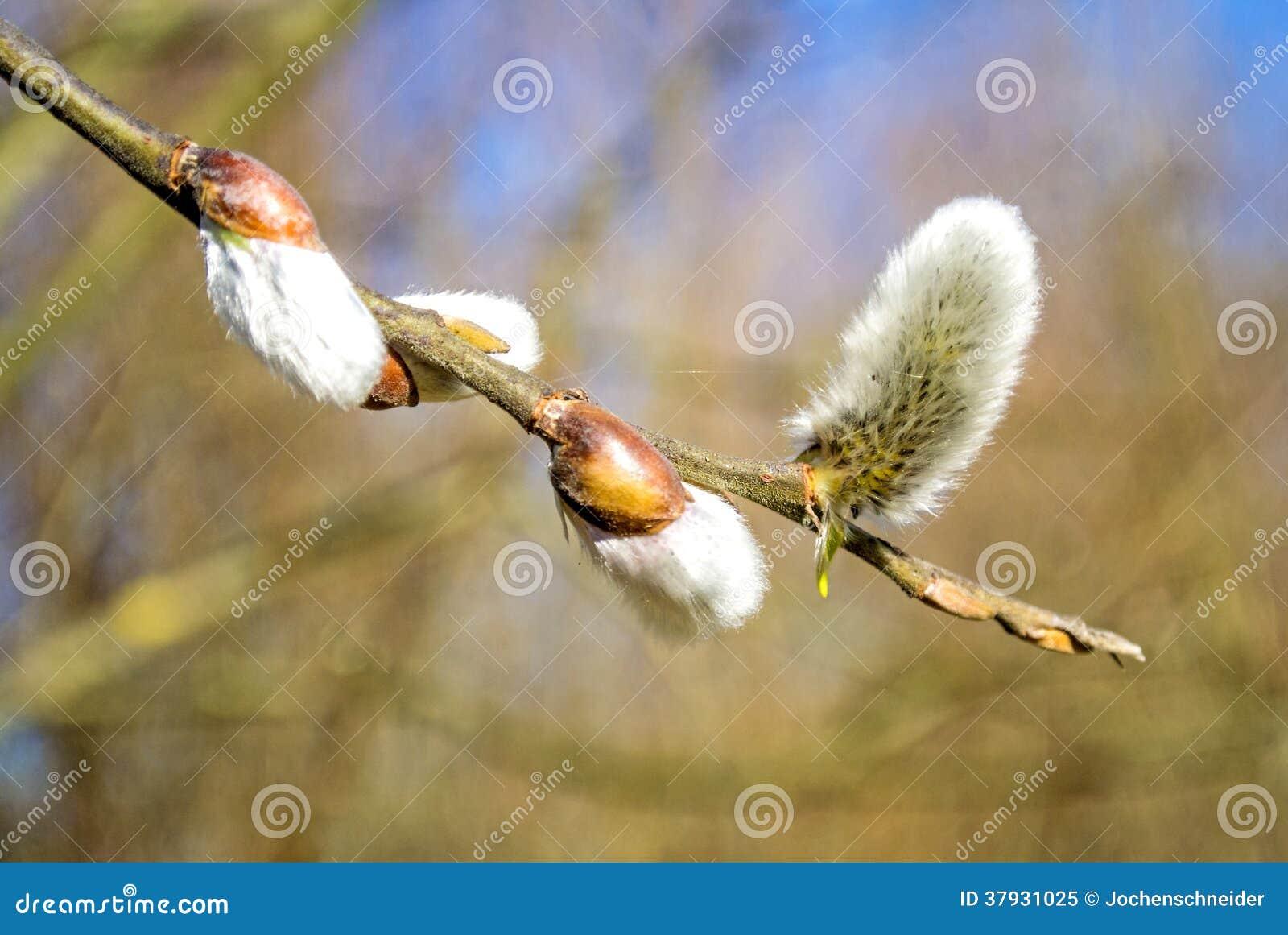 Цветение вербы