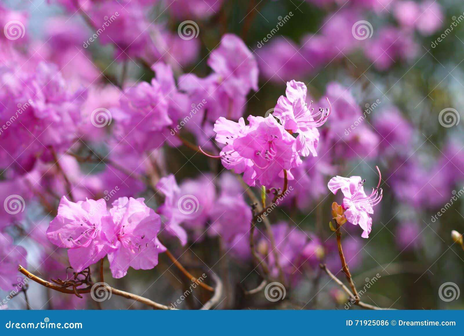 Цветение конца-вверх dauricum рододендрона красивое