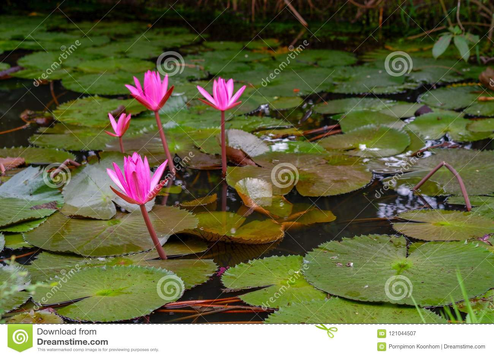 Цветение лотоса розового цвета свежие или цветок лилии воды зацветая на предпосылке пруда