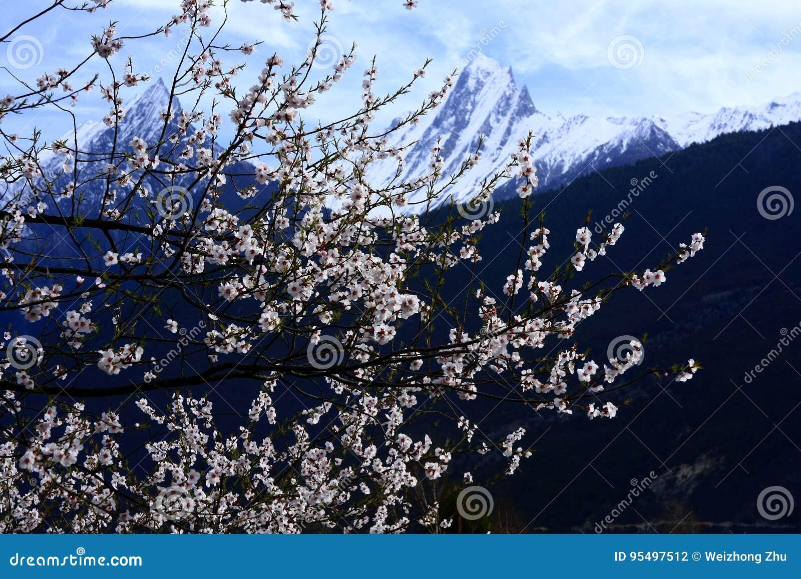 Цветение персика Nyingchi