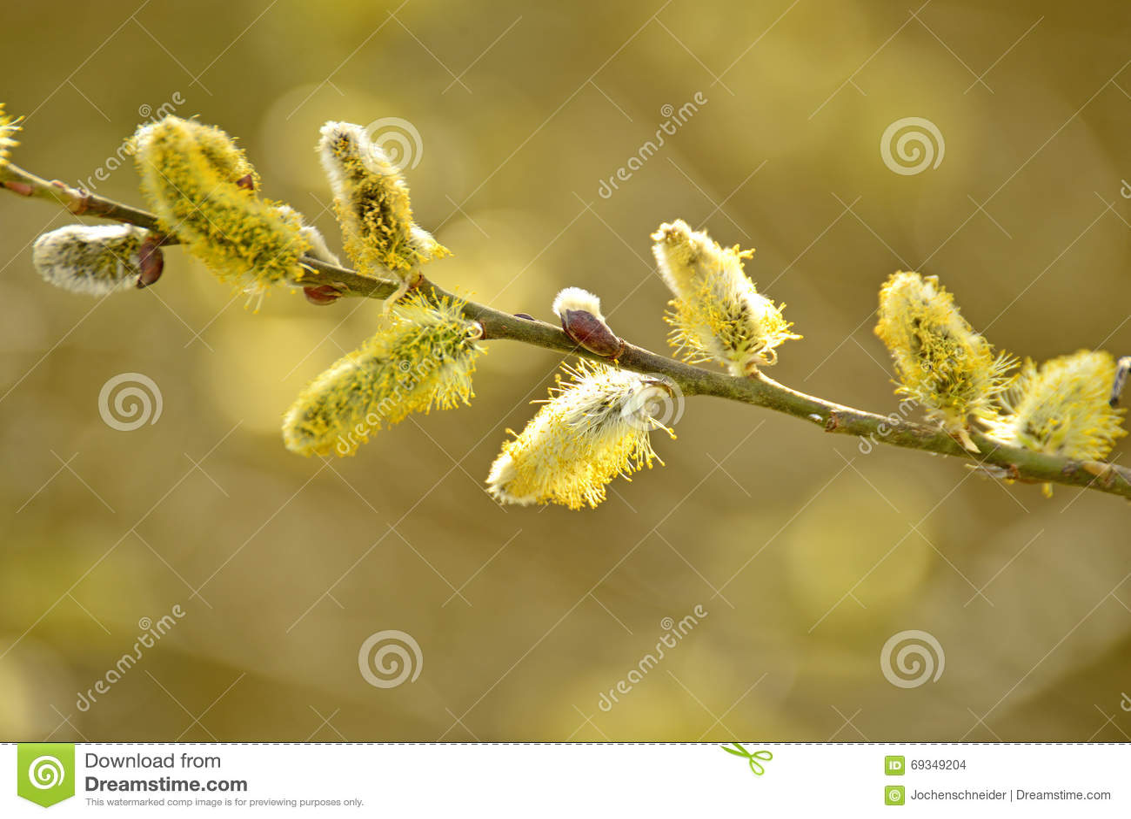 цветение раньше может поскакать верба