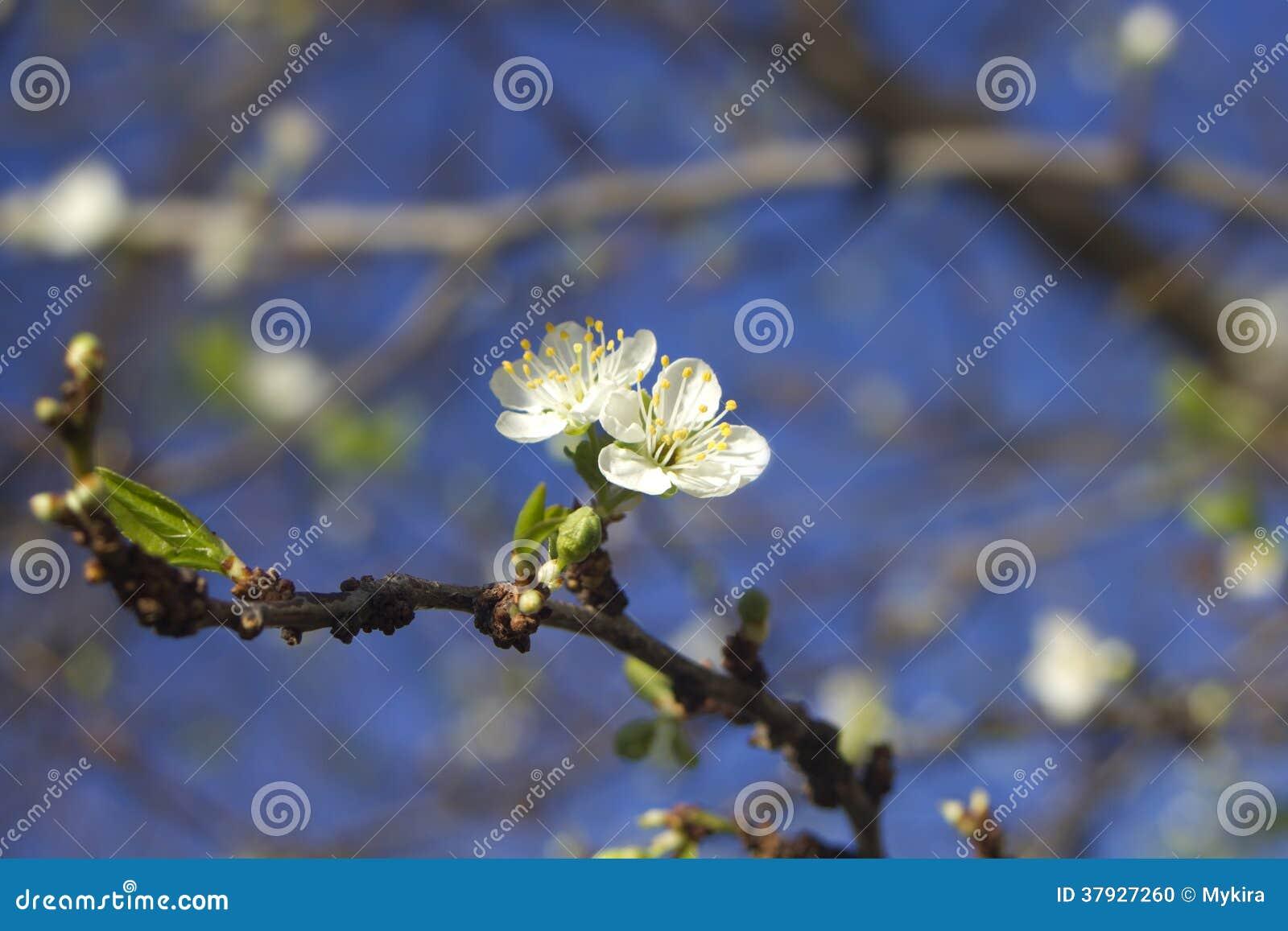 Цветение сливы весны