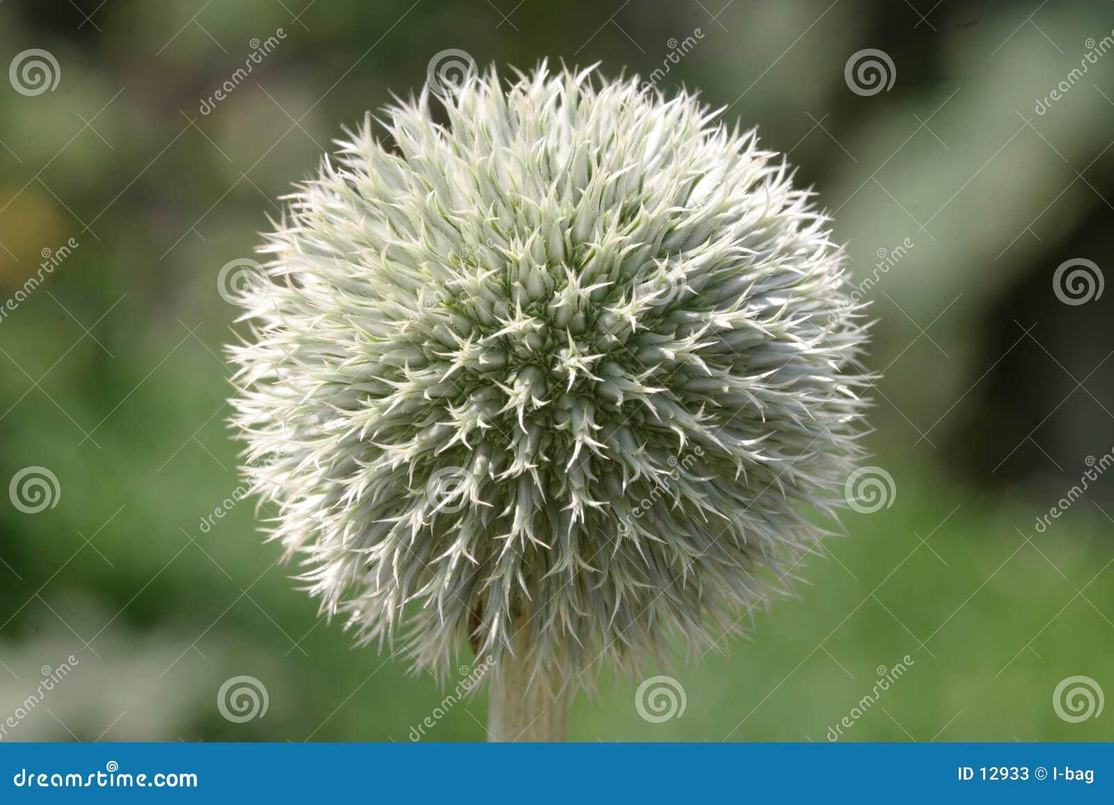 цветение шарика