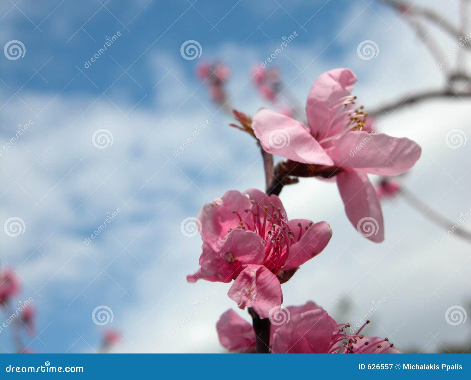 Download цветение яблока стоковое изображение. изображение насчитывающей цветки - 626557