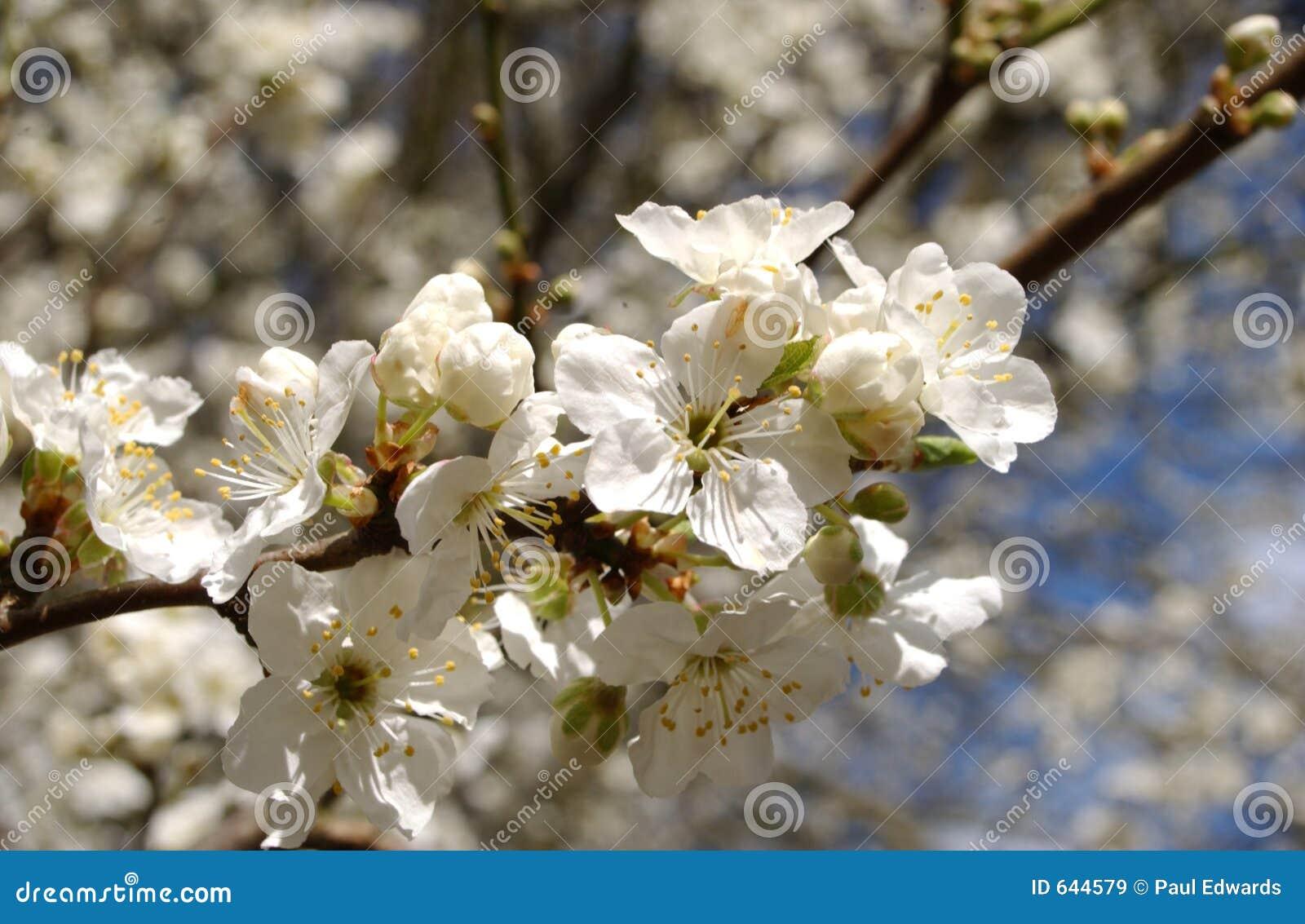 Download цветение яблока стоковое изображение. изображение насчитывающей тавром - 644579