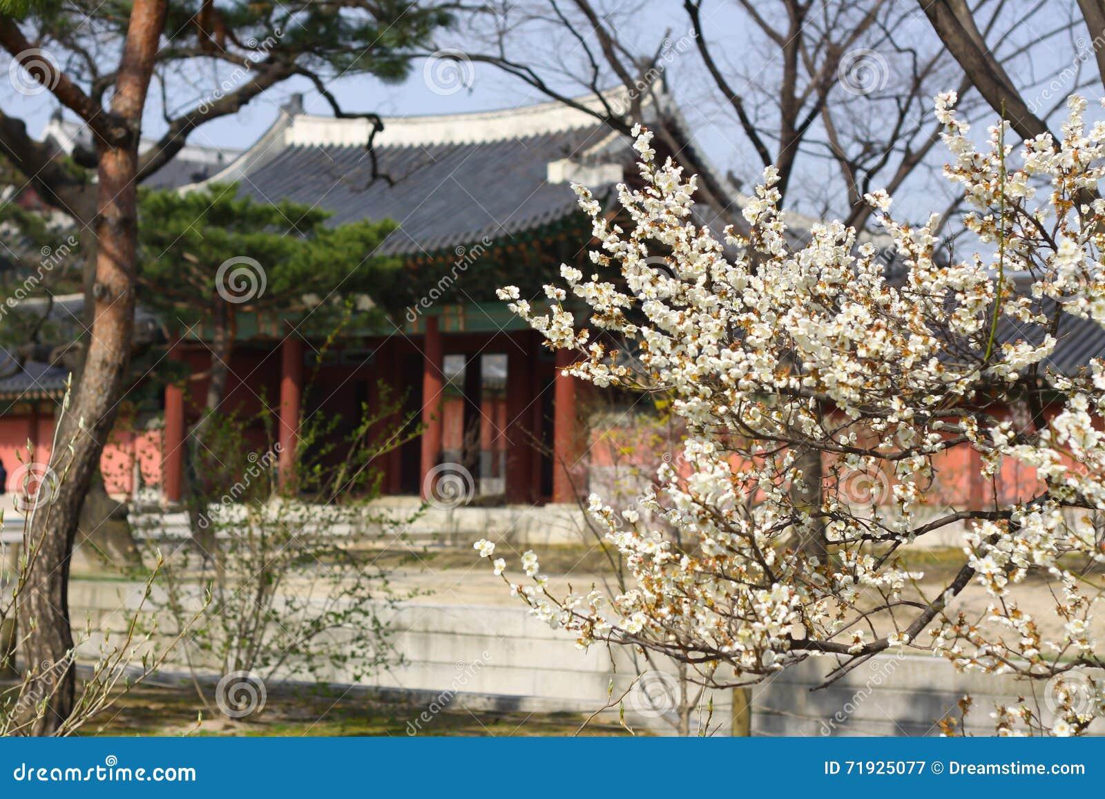Цветение serrulatain сливы Сакуры