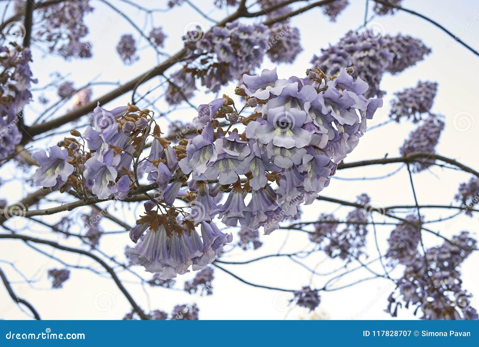 Цветение tomentosa Paulownia