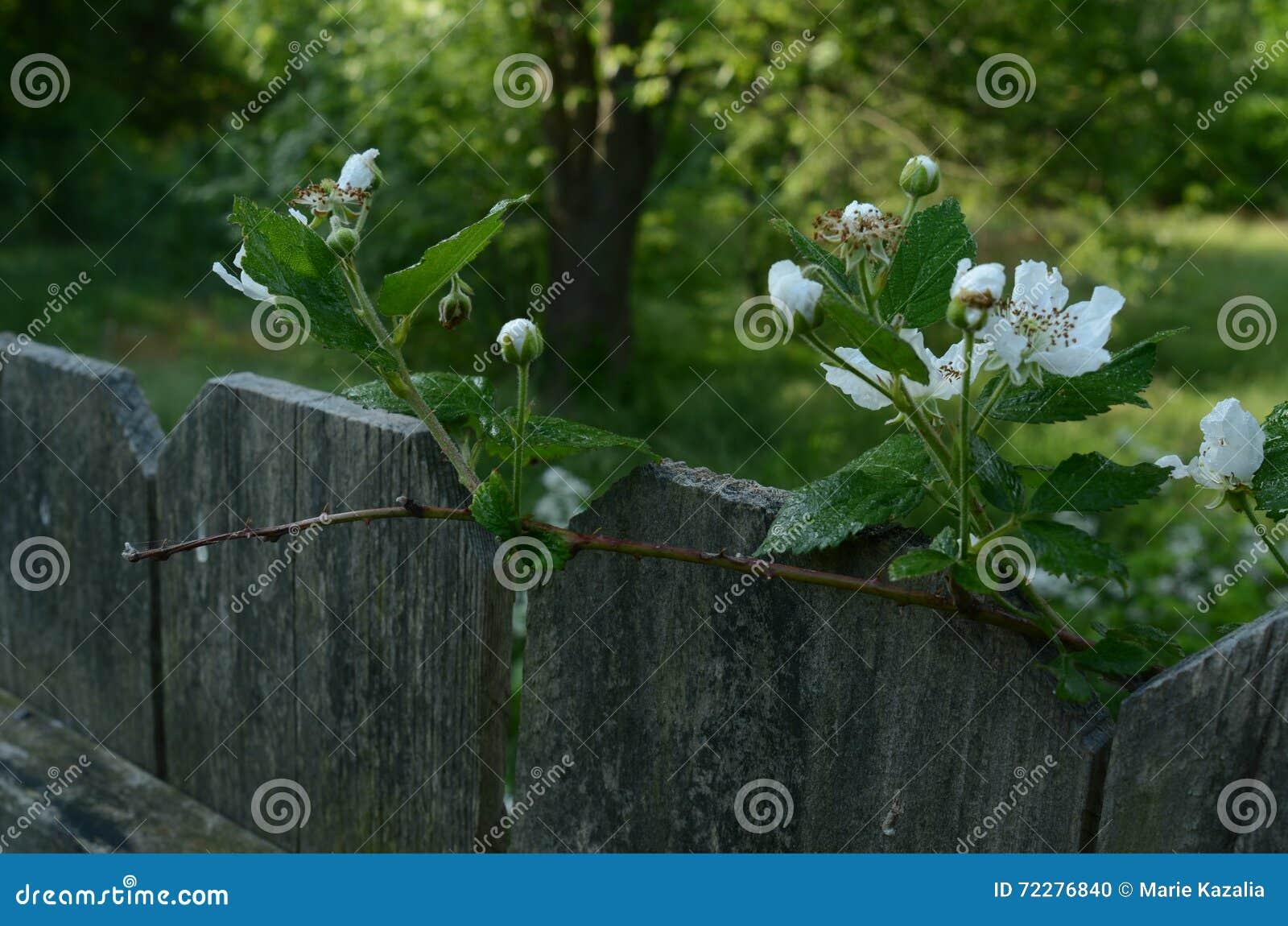 Download Цветения поленики наверху дерева фокуса загородки мягкого в расстоянии Стоковое Фото - изображение насчитывающей зарево, день: 72276840