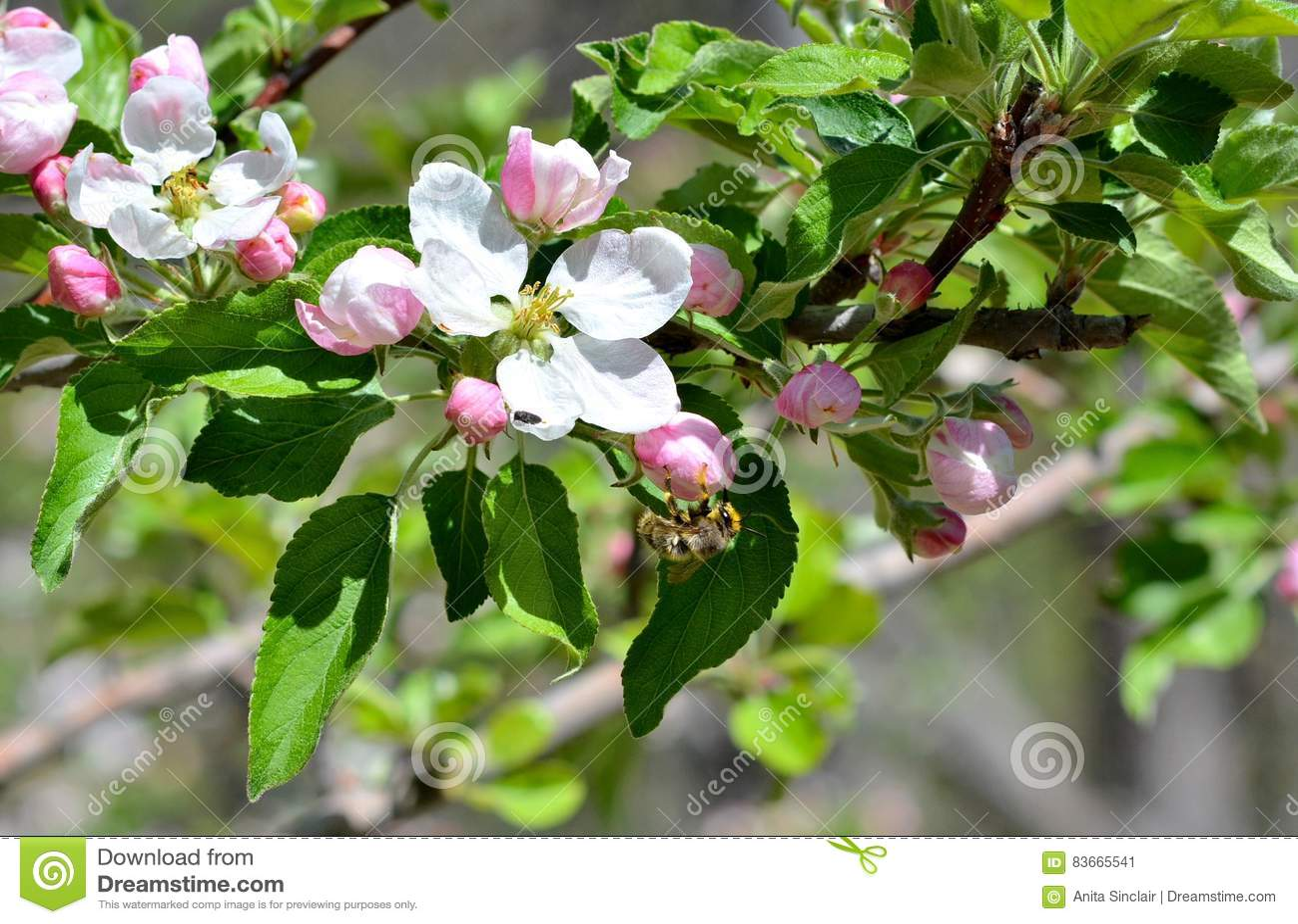 Цветения Яблока будучи опылянным пчелой меда