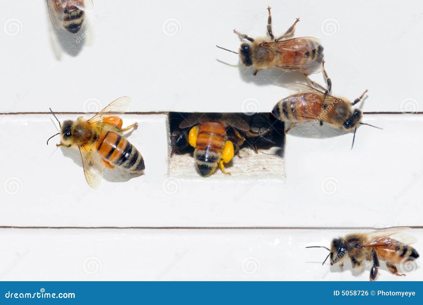 цветень упаковки меда пчел